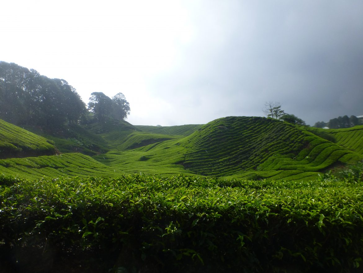 Groene heuvels in de Cameron Highlands theeplantages in Maleisië