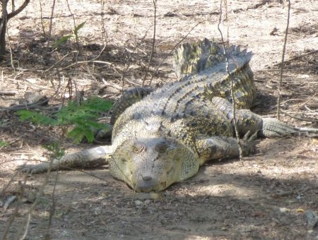 Springende krokodillen in Noord-Australië
