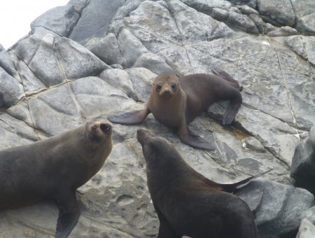 Rotsen vol zeeleeuwen op Kangaroo Island